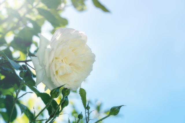 Questa immagine ha l'attributo alt vuoto; il nome del file è rose-5404857_640.jpg